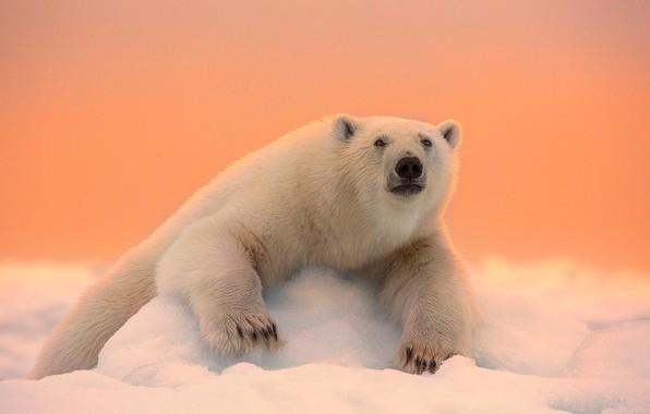 Picture winter, face, snow, nature, paws, wool, bear, polar bear, bokeh
