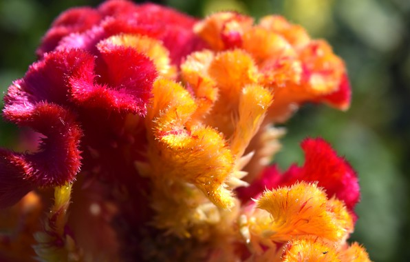 Picture flower, macro, red, yellow, widescreen