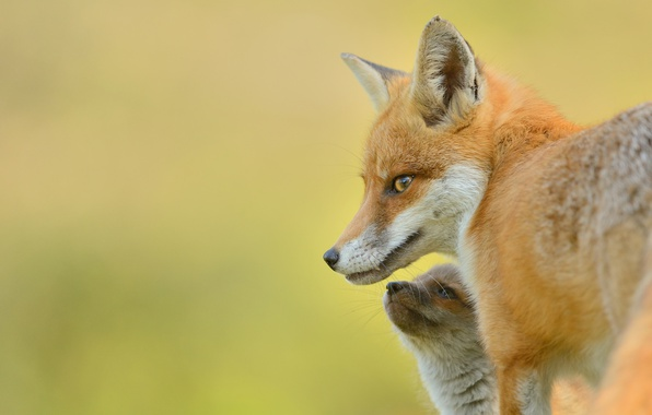 Picture background, Fox, red, cub, Fox