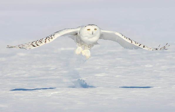 Photo wallpaper snow, owl, bird