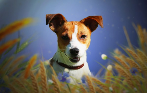 Picture background, each, dog, ears, Jack Russell Terrier
