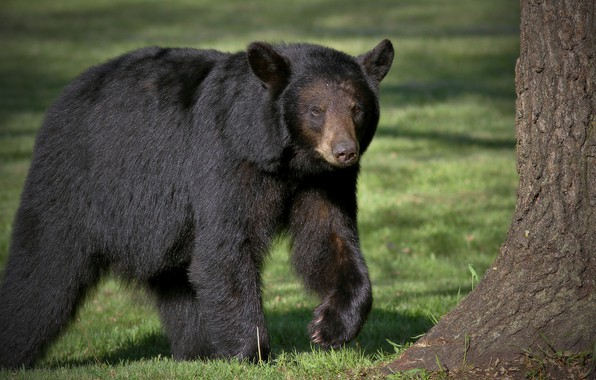 Picture black, predator, bear