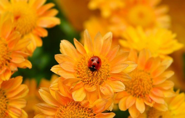 Picture Ladybug, Yellow flower, Yellow flowers