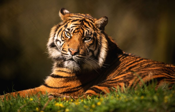 Picture grass, look, face, cats, tiger, background, portrait, lies, wild cats, wildlife