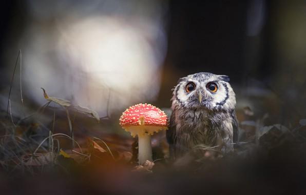 Picture forest, animals, nature, the dark background, background, owl, bird, mushroom, mushroom, owl