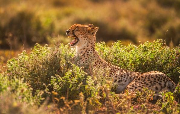 Picture light, predator, teeth, mouth, Cheetah, yawns