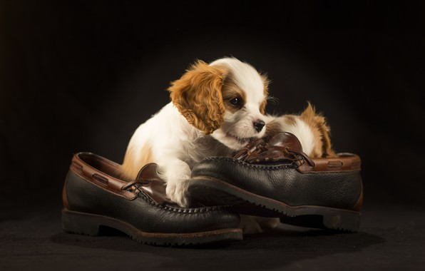 Picture shoes, puppy, Spaniel