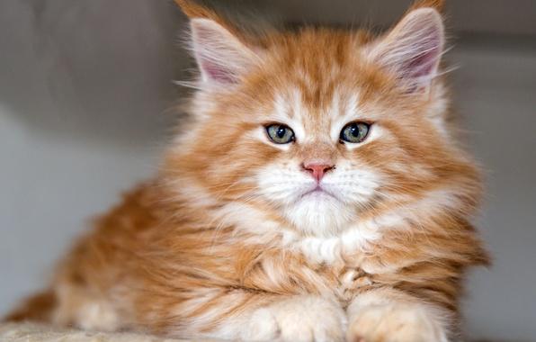 Picture cat, portrait, red