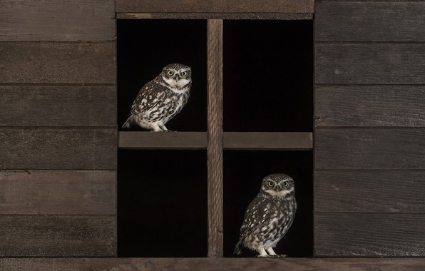 Picture owl, feathers, window