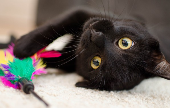 Picture cat, eyes, cat, face, close-up, background, black, toy, the game, portrait, feathers, yellow, lies, Mat