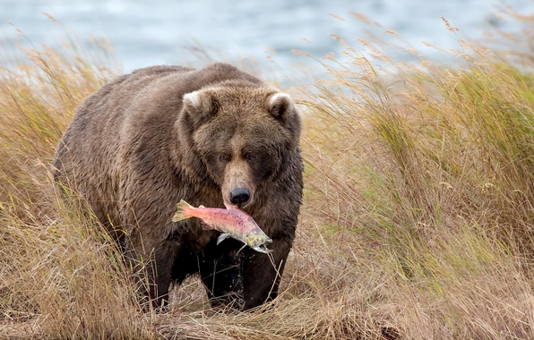 Picture nature, fish, bear