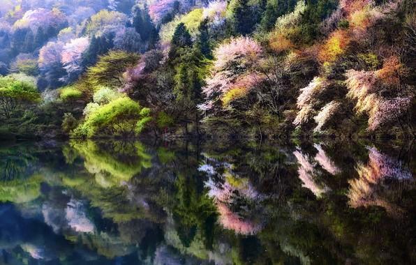 Picture trees, nature, lake, people, spring, Sakura, Korea, South Korea, South Korea, artificial pond, Hwasun County, …