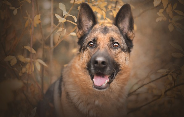 Picture autumn, look, face, branches, portrait, dog, shepherd