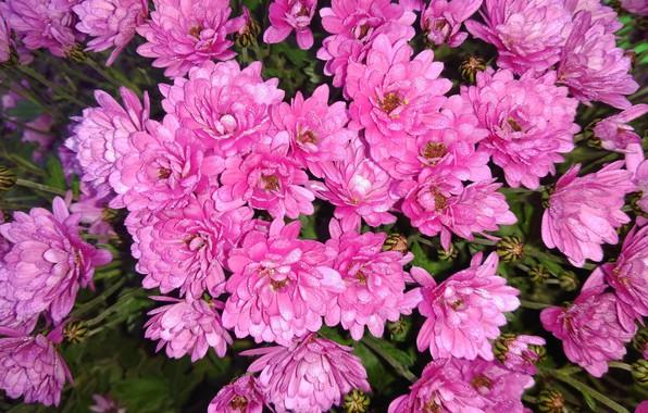 Picture Rosa, glare, chrysanthemum