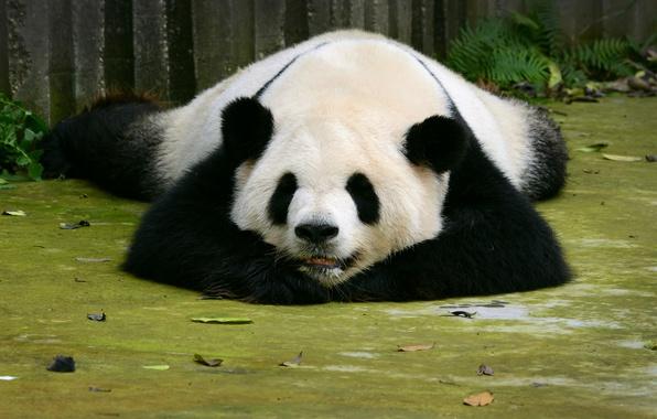 Picture bear, Panda, sleeping, Sleep, Bears