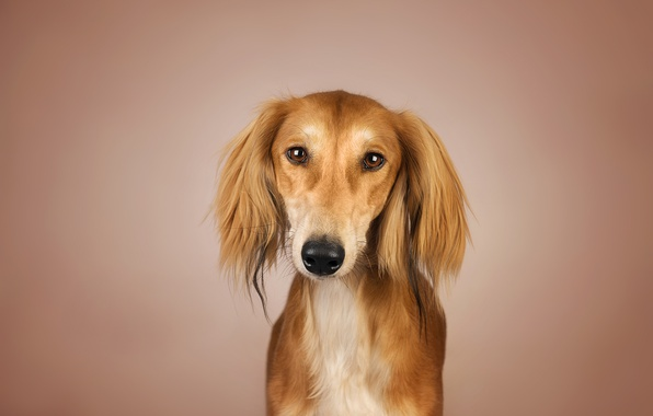 Picture background, dog, red, Kenny, Saluki