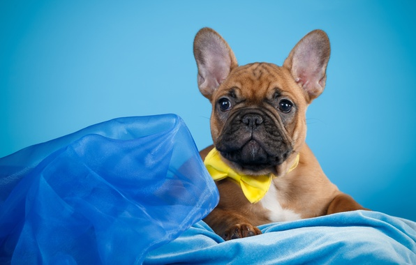 Picture butterfly, cute, puppy, French bulldog