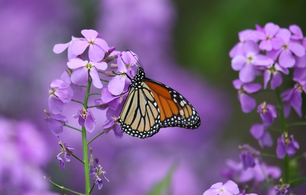 Picture macro, flowers, butterfly, The monarch, Gillyflower