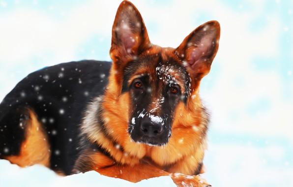 Picture snow, each, dog, German shepherd
