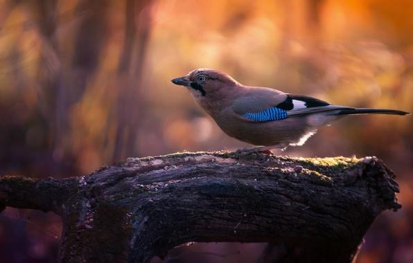 Picture light, tree, bird, branch, bokeh, Jay