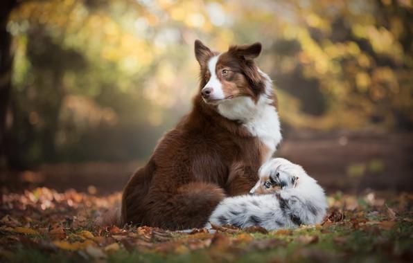 Picture autumn, dogs, leaves, foliage, puppy, bokeh, Australian shepherd, The border collie