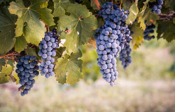 Picture leaves, nature, grapes, vineyard, bunches of grapes