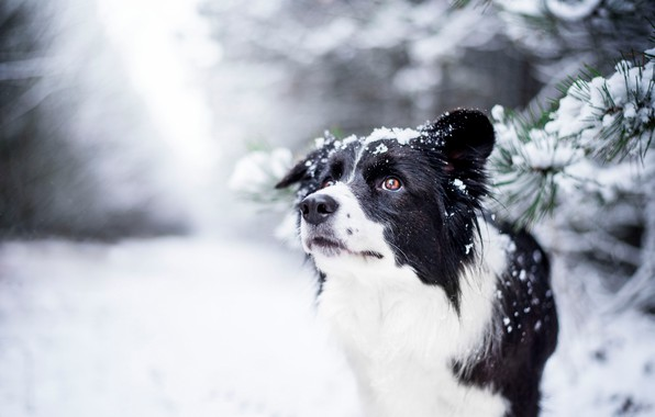 Picture winter, look, face, dog, bokeh, The border collie