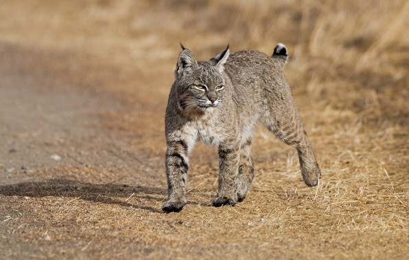 Picture nature, animal, lynx