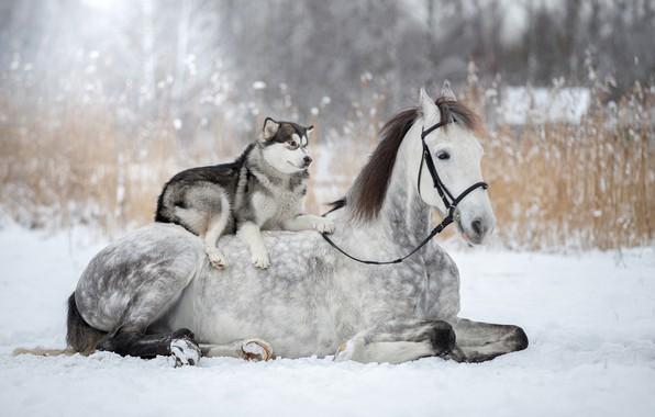 Wallpaper winter, snow, horse, husky, dog images for ...