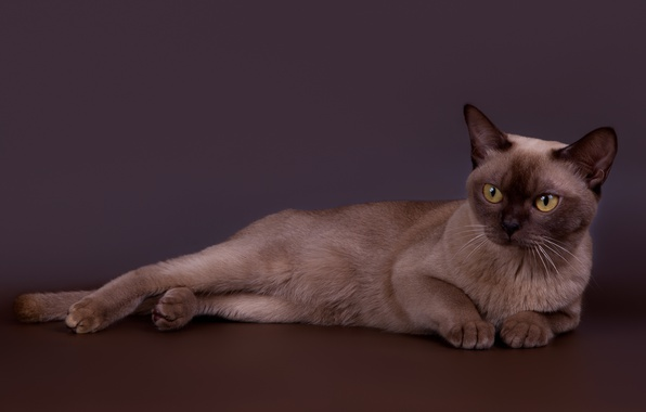 Picture cat, handsome, Burmese