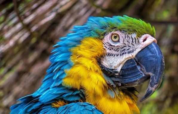 Picture stay, bird, beak, parrot, Ara