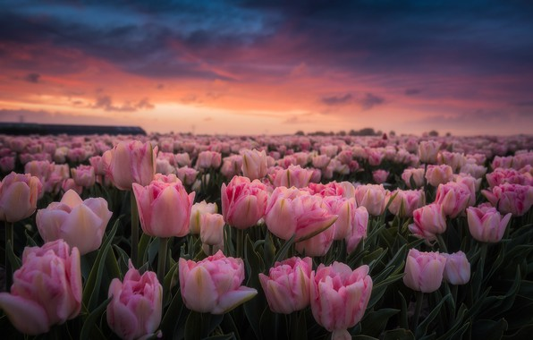 Picture field, dawn, morning, tulips, pink, Netherlands, buds, a lot, plantation