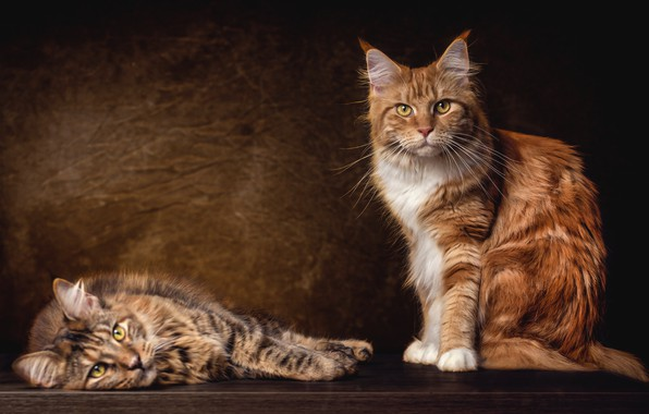 Picture cat, cats, the dark background, grey, cats, red, pair, lies, sitting, two, breed, Maine Coon, …