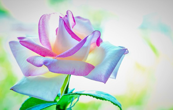 Picture flower, background, rose