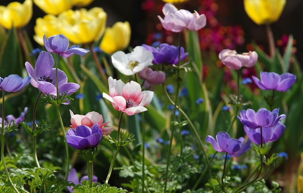 Picture colorful, Anemones, Anemone
