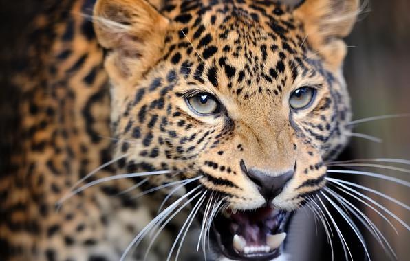 Picture close-up, blur, leopard, wild cat, leopard, animals, nature, bokeh, travel, wallpaper., my planet, predator hunter, …