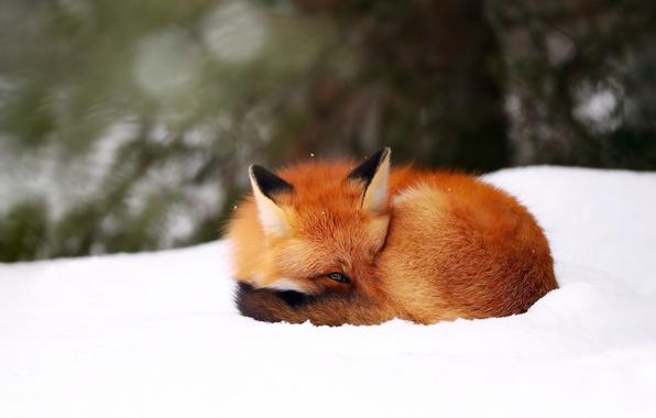 Picture winter, snow, background, Fox, Fox, bokeh