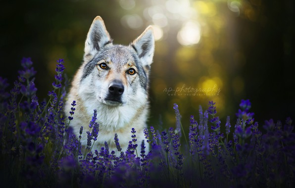 Picture look, face, flowers, dog, lavender, the Czechoslovakian Wolfdog