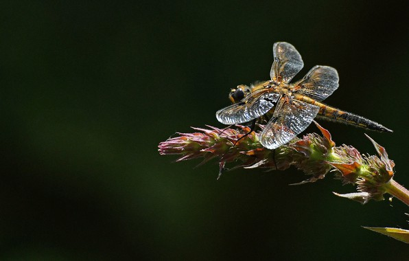 Picture dragonfly, insect, blackbrush four-spotted chaser, four-spotted chaser dragonfly