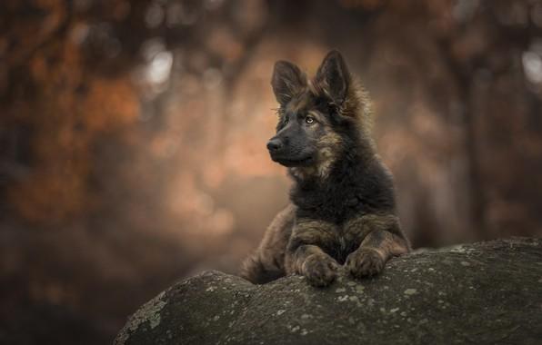 Picture stone, puppy, bokeh, Puppy love