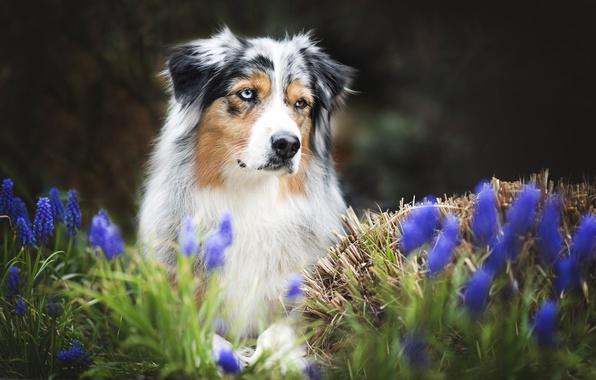 Picture flowers, each, dog, spring, Australian shepherd, Aussie
