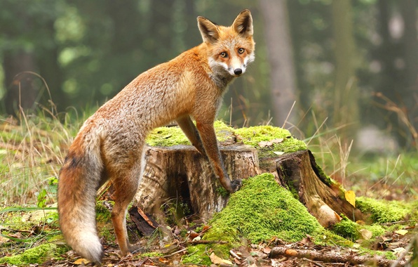 Picture forest, leaves, nature, moss, stump, Fox, red, Fox, bokeh