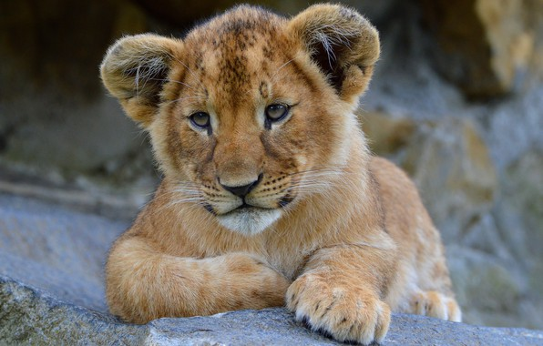 Picture look, face, cats, nature, stones, background, portrait, Leo, paws, lies, wild cats, lion, zoo, lion