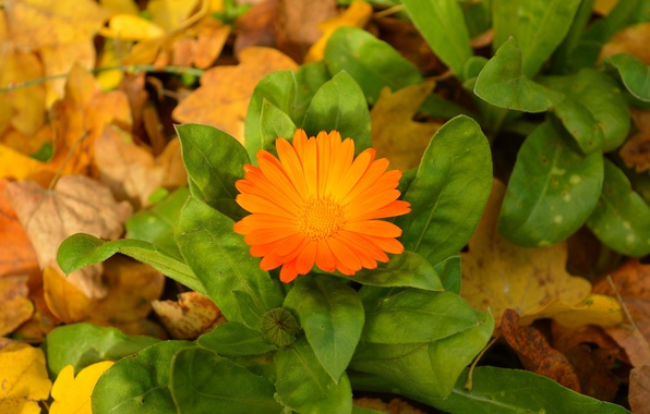 Picture Autumn, Leaves, Autumn, calendula, Leaves, Orange flower, Orange flower, Calendula