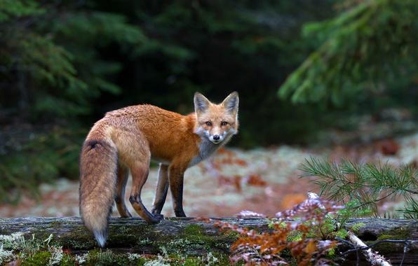 Photo wallpaper forest, look, Fox, Fox