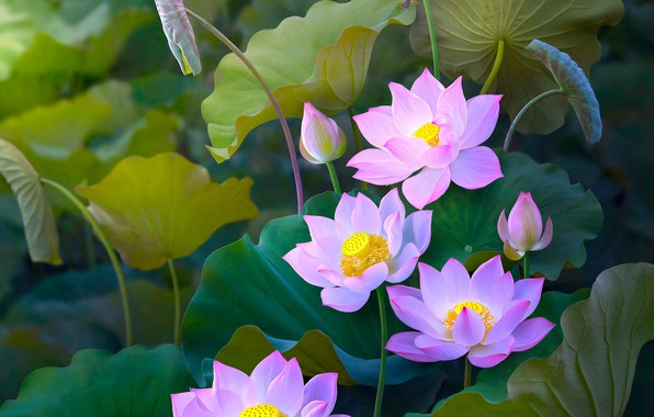 Picture leaves, flowers, nature, treatment, art, Lotus, pink, buds, Lotus, composition
