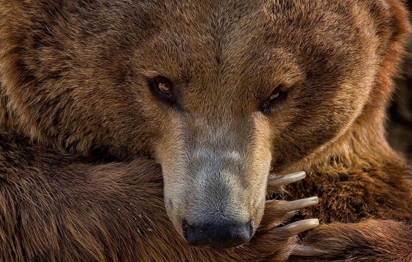 Picture look, paw, portrait, bear, manicure, bear