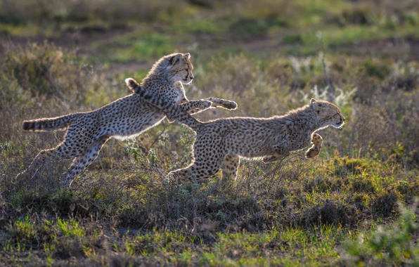 Picture the game, predators, running, wild cats, cheetahs, cubs