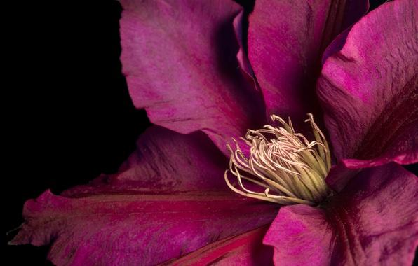 Photo wallpaper flower, petals, clematis, clematis