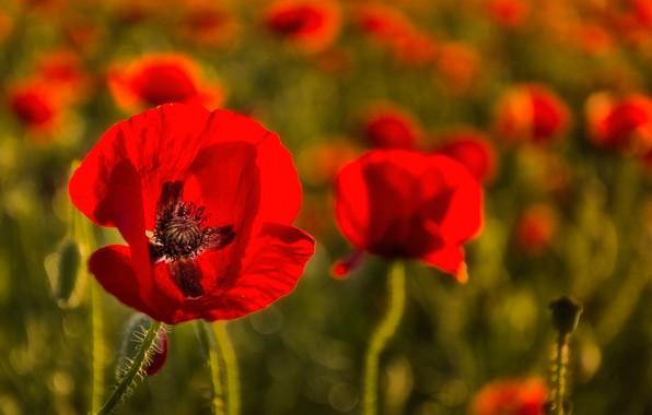 Picture nature, Maki, petals, meadow